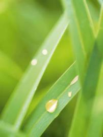 Mit reichlich pflanzlichem Öl wird massiert