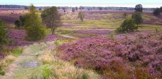 Die blühende Heidelandschaft